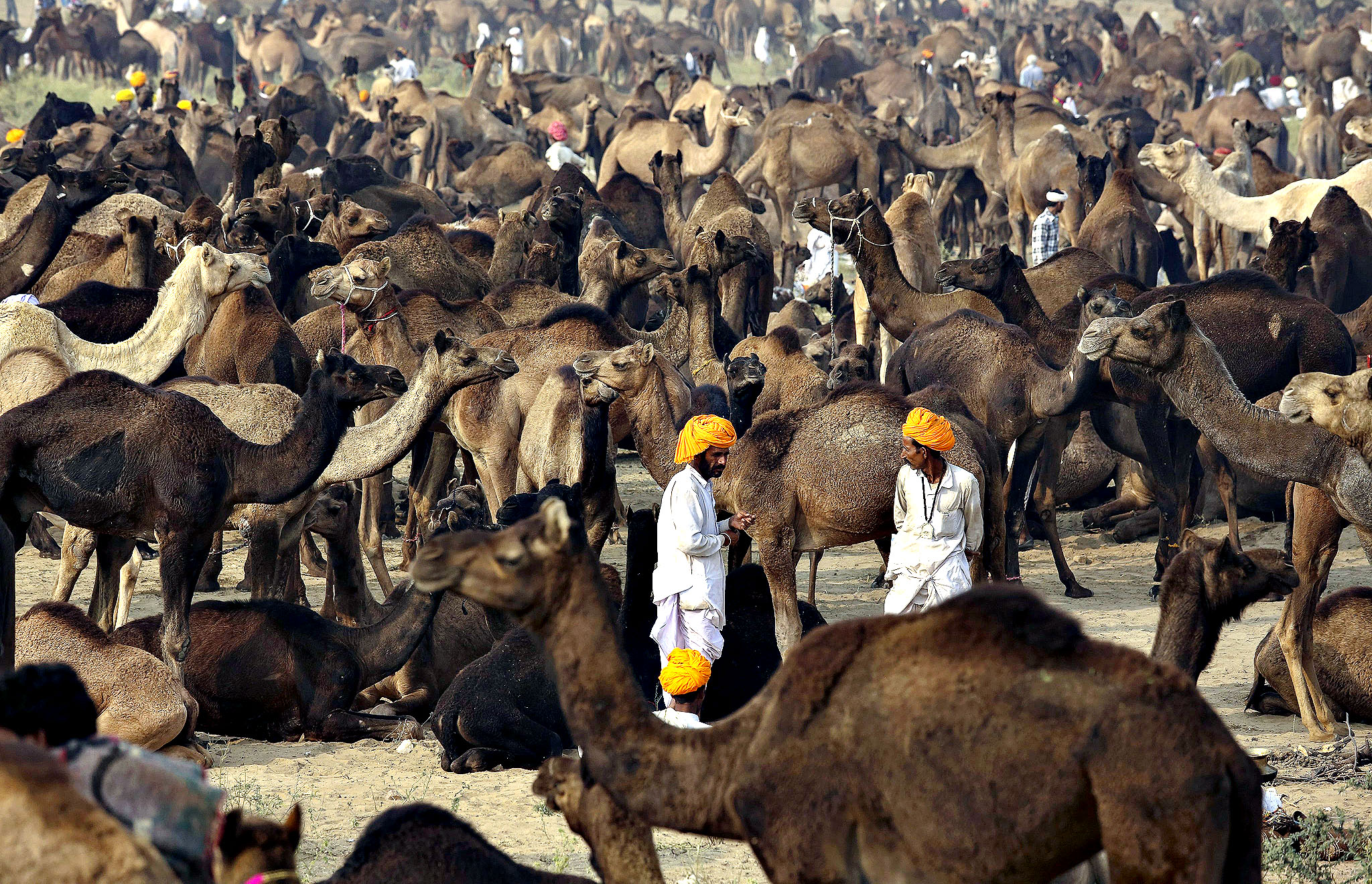 Camels-in-Rajasthan